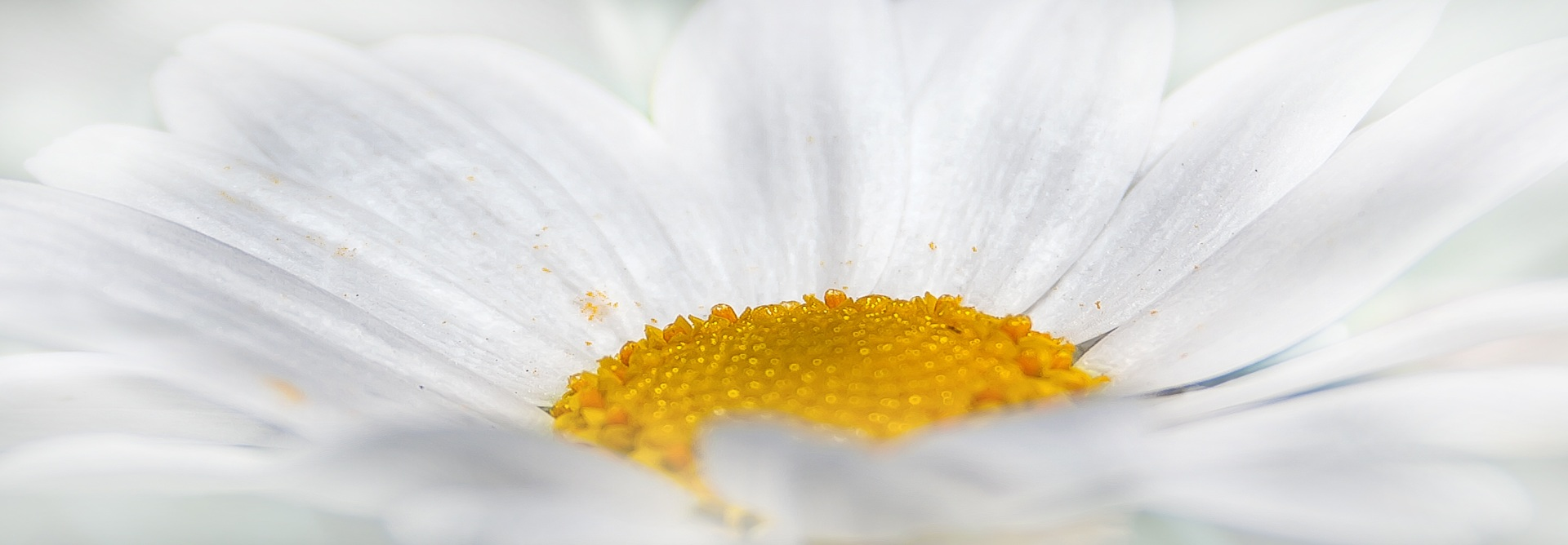 Close up of a white daisy.